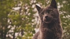 Grey Cat Focus Wallpaper 44881
