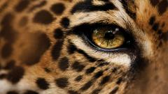 HD Jaguar Wallpaper 26092