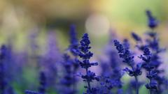 HD Lavender Wallpaper 21776