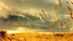 HD Wheat Wallpaper 24056