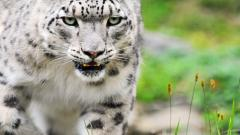 HD White Tiger Wallpaper 25674