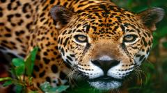 Jaguar Background 26089