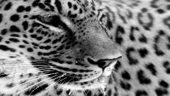 Jaguar Pictures 26093