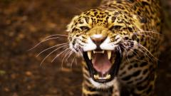 Jaguar Wallpaper 26084