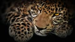 Jaguar Wallpaper 26091