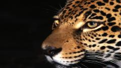 Jaguar Wallpaper 26095