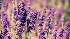 Lavender 21779