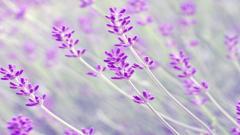 Lavender 21781