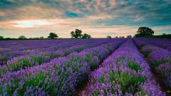 Lavender Field 21777