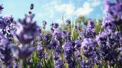 Lavender Flowers 21787
