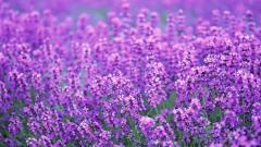 Lavender Flowers 21788
