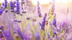 Lavender Flowers HD 21789