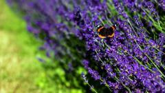 Lavender Wallpaper 21773