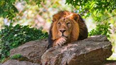Lion Resting Wallpaper 42207