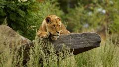 Lioness Wallpaper 40736
