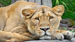 Lioness Wallpaper 40737