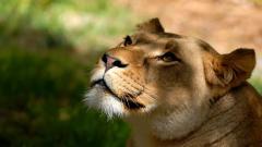 Lioness Wallpaper HD 40734