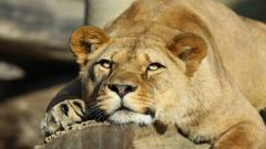 Lioness Wallpapers 40732