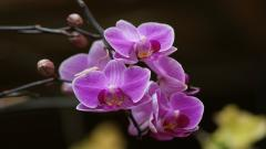 Lovely Orchid Wallpaper 24545