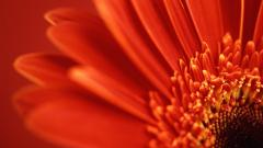 Lovely Red Daisy 30206