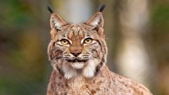 Lynx Background HD 38470
