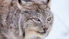 Lynx HD 38476