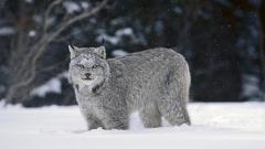 Lynx Wallpaper 38469