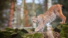Lynx Wallpaper 38475
