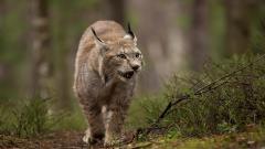 Lynx Wallpaper 38478
