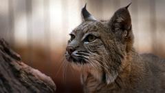Lynx Wallpaper 38481