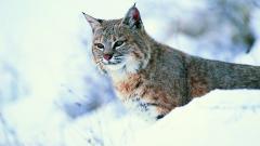 Lynx Wallpaper 38483