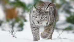 Lynx Wallpaper 38485