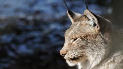 Lynx Wallpapers 38479