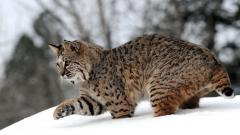 Lynx Wallpapers 38482