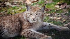 Lynx Wallpapers 38488