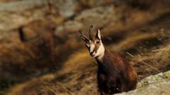 Mountain Goat Wallpaper 40724