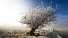 Oak Tree 32966