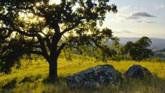 Oak Tree HD 32969