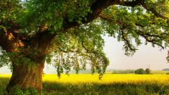 Oak Tree Wallpaper HD 32960