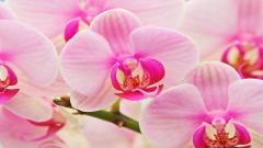 Orchids 24548