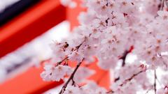 Pretty Sakura Wallpaper 43396