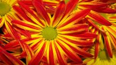 Red Daisies 30210