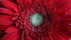 Red Daisy 30205