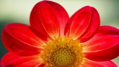 Red Daisy 30207