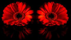 Red Daisy Wallpaper 30203