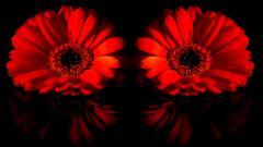 Red Daisy Wallpaper 30203