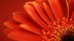 Red Flower Backgrounds 18829