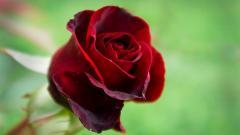 Rose Flowers 35915