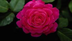 Rose Flowers 35916