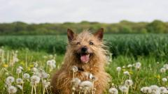 Shaggy Brown Dog Wallpaper 44108